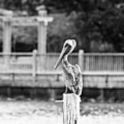 Point Clear Alabama Brown Pelican - Bw Poster