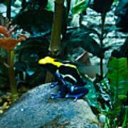 Poison Dart Frog Poised For Leap Poster by Douglas Barnett
