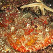 Poisonous Stone Fish, Scorpaena Mystes Poster