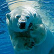 Polar Bear Contemplating Dinner Poster