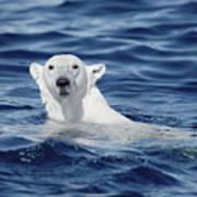 Polar Bear Swimming Baffin Island Canada Poster