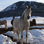 Polish Arab Horse Family Poster