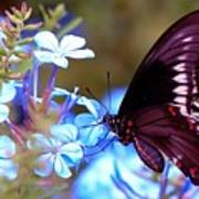 Polydamas Swallowtail Butterfly Poster
