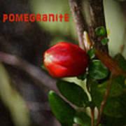 Pomegranite Art II Poster