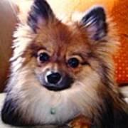 Pomeranian Contemplation Poster