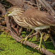 Pond Heron With Fish  Poster