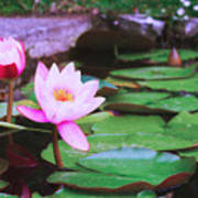 Pond With Water Lilly Flowers Poster