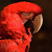 Pondering Parrot Poster