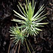 Ponderosa Pine 3 Poster
