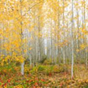 Poplar Tree Grove In Fall Poster