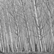 Poplars Beauty Trees Poster
