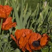 Poppies 1 Poster