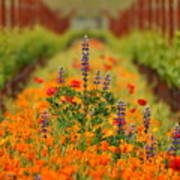 Poppies And Wildflowers In Vineyard Poster