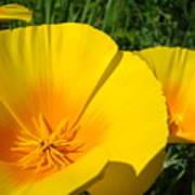 Poppies Art Poppy Flowers 4 Golden Orange California Poppies Poster