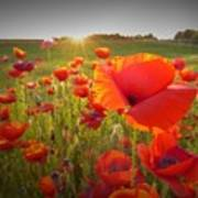 Poppies At Sunset Poster