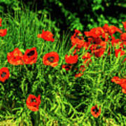 Poppies Flowerbed Poster