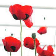 Poppies, Lovely Poppies Poster