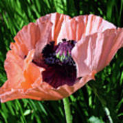 Poppy Beautiful Poster