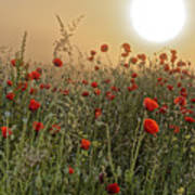 Poppy Field In The Morning Poster