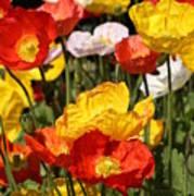 Poppy Flower Garden Poster