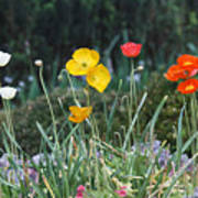 Poppy Flower Mix Poster