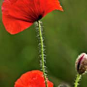 Poppy Image Poster
