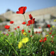Red Poppy Flower On The Meadow Poster