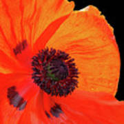 Poppy With Raindrops 2 Poster