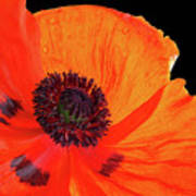 Poppy With Raindrops 3 Poster