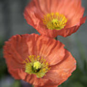 Poppys Poster by Barry Culling