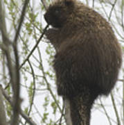 Porcupine In A Tree Poster