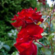 Portland Roses #6 Poster