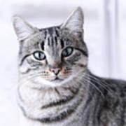 Portrait Gray Tabby Cat Poster