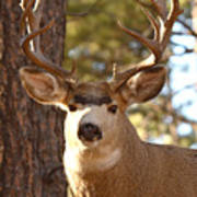 Portrait Of A 15-point Buck Poster