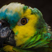 Portrait Of A Blue-fronted Parrot Poster