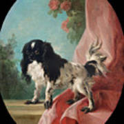 Portrait Of A Cavalier King Charles Spaniel Poster