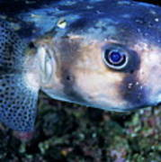 Portrait Of A Freckled Porcupinefish Poster