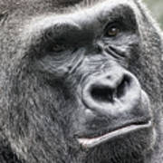 Portrait Of A Gorilla Poster