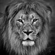 Portrait Of A Male Lion Black And White Version Poster