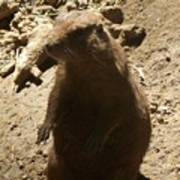 Portrait Of A Prarie Dog Poster