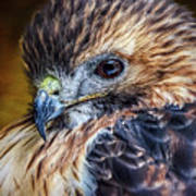 Portrait Of A Red-tailed Hawk Poster