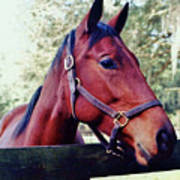 Portrait Of A Thoroughbred Poster