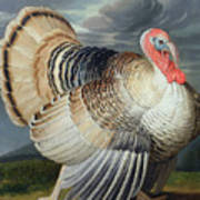 Portrait Of A Turkey  Poster