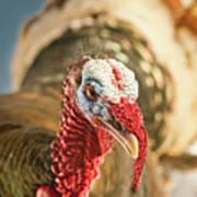 Portrait Of A Wild Turkey Poster