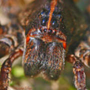 Portrait Of A Wolf Spider Poster