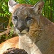 Portrait Of A Young Florida Panther Poster