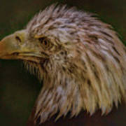 Portrait Of An Eagle Poster