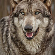 Portrait Of Gray Wolf Poster