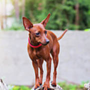 Portrait Of Red Miniature Pinscher Dog Poster