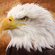 Portrait Of A Bald Eagle Poster